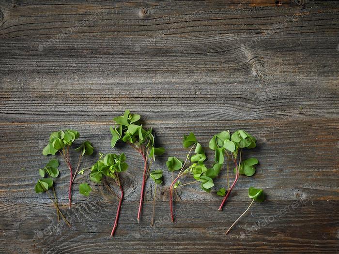 fresh raw wood sorrel plant