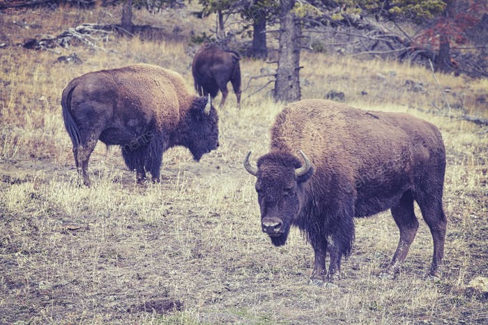 Vintage toned bison grazing in Yellowstone National Park.