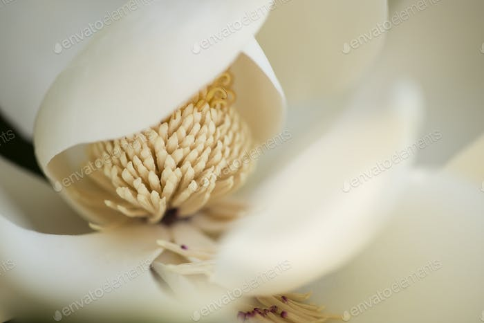 Detail of southern magnolia flower.