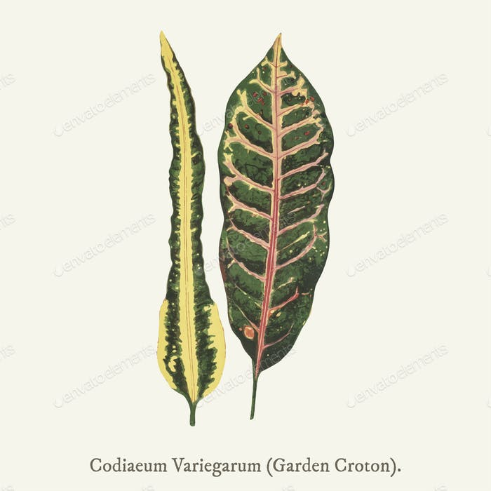 Garden Croton (Codiaeum Variegarum) found in (1825-1890) New and