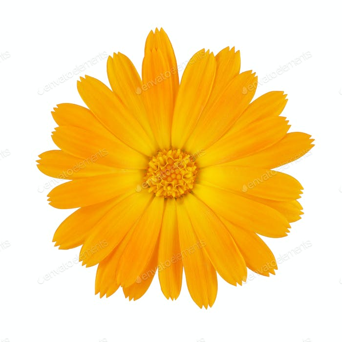 Calendula or Marigold flower isolated on white