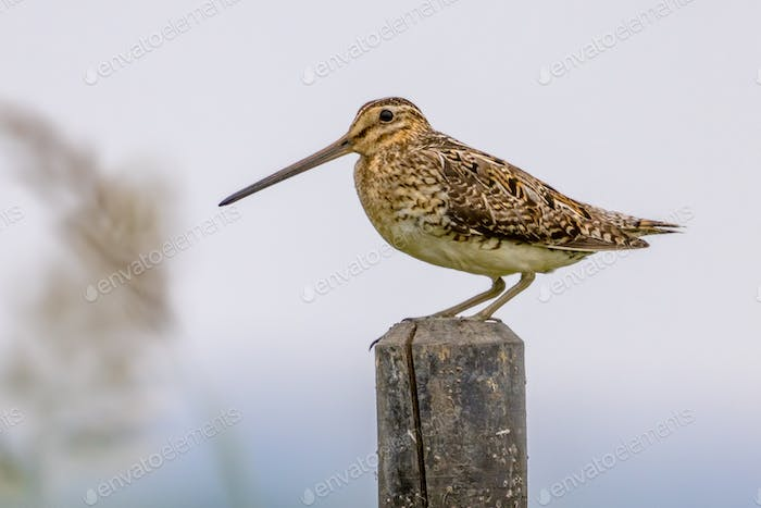 Common snipe sitting on pole in wetland