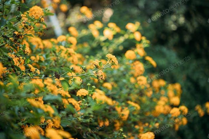 Blühende gelbe Blumen von Lantana im Garten