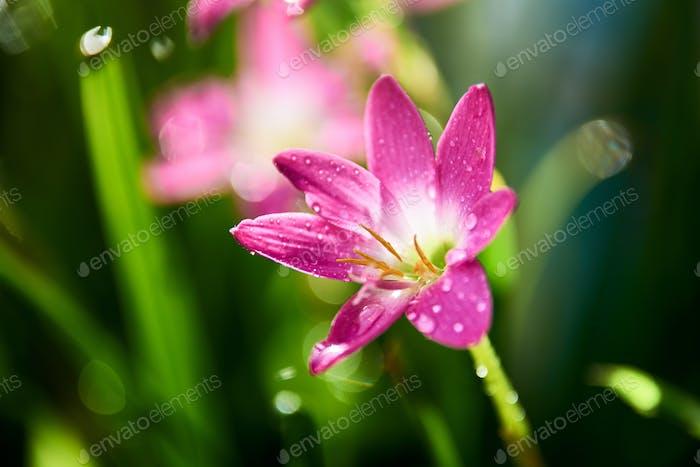 Raindrops on the tiny pink rain lily