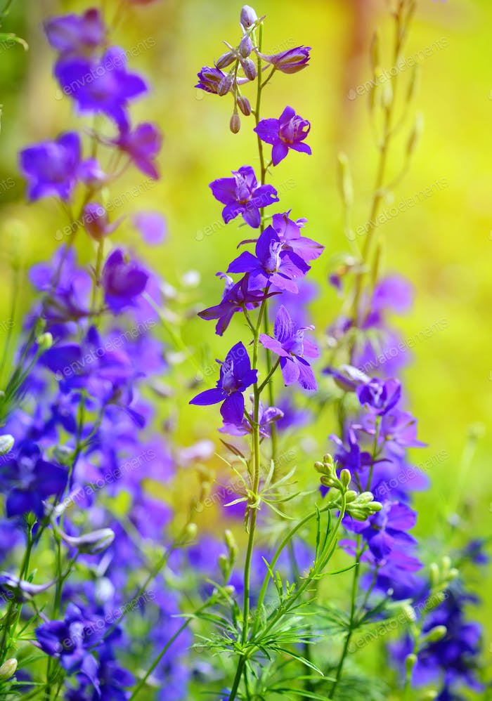 Beautiful purple Delphinium consolida (Consolida regalis) on a n