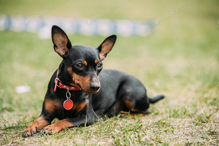 Black Miniature Pinscher Zwergpinscher, Min Pin Sitting On Green