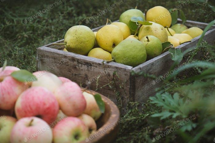 Birnen und Äpfel ernten
