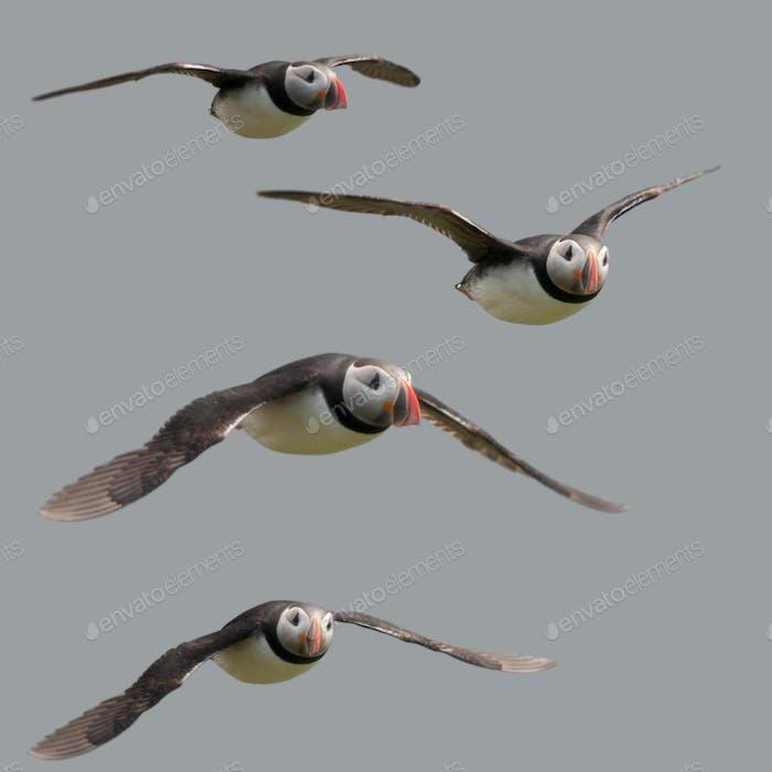 Atlantic Puffin or Common Puffin flying in midair, Fratercula arctica, Mykines, Faroe Islands