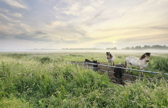 pony and horses on misty pasture at sunrise