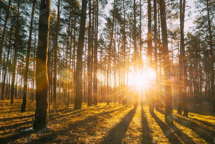Beautiful Sunset Sunrise Sun Sunshine In Sunny Spring Coniferous Forest. Sunlight Sunbeams Through