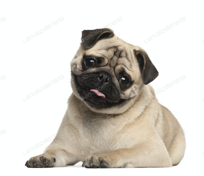 Pug, 9 months old, lying against white background
