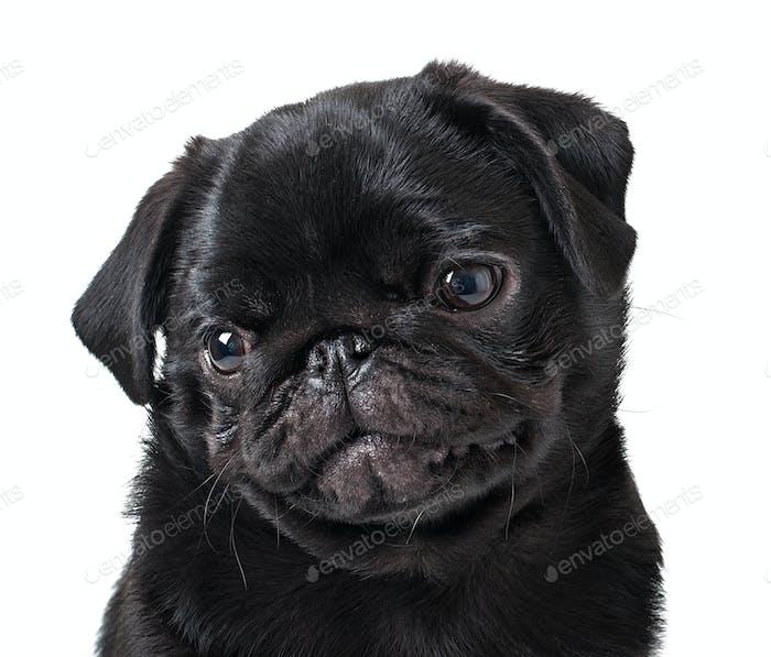 Joven perro negro pug posando sobre Fondo blanco