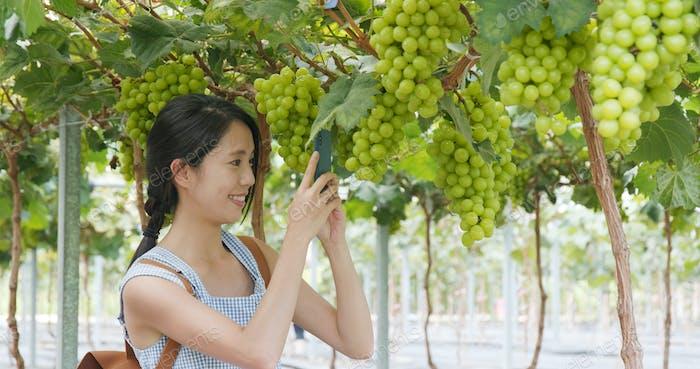 Woman take photo on the grape farm