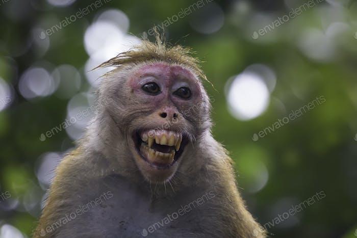 Sri-Lankan toque macaque (Macaca sinica