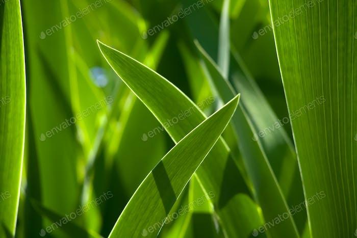 Grünes Gras im Hintergrund von hellem Sonnenlicht von der Rückseite