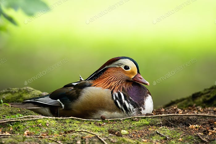Cute mandarin duck drake lying on the ground in summer with copy space above