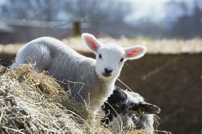 Newborn lamb peeking out from behind a bale of straw.