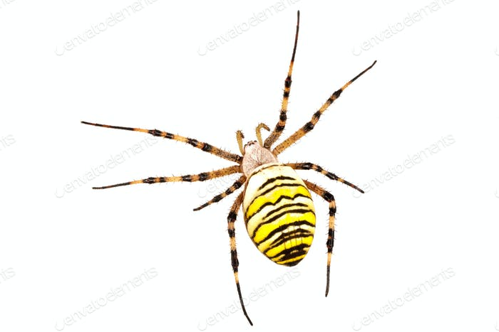 Wasp spider (Argiope bruennichi) on a white background