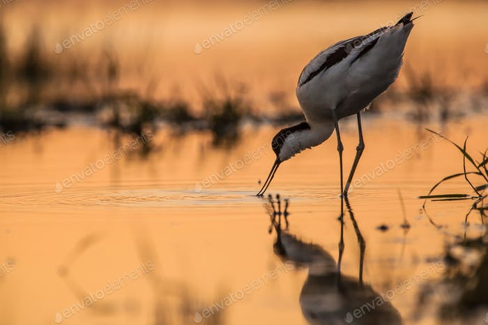 pied avocet foraging in orange surroundings