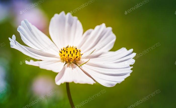 White flower Cosmos bipinnatus, Apollo White against green background