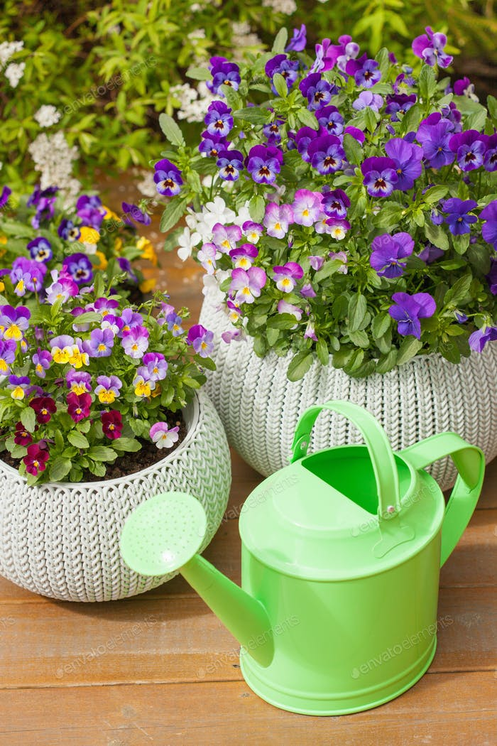 beautiful pansy summer flowers in flowerpots in garden watering
