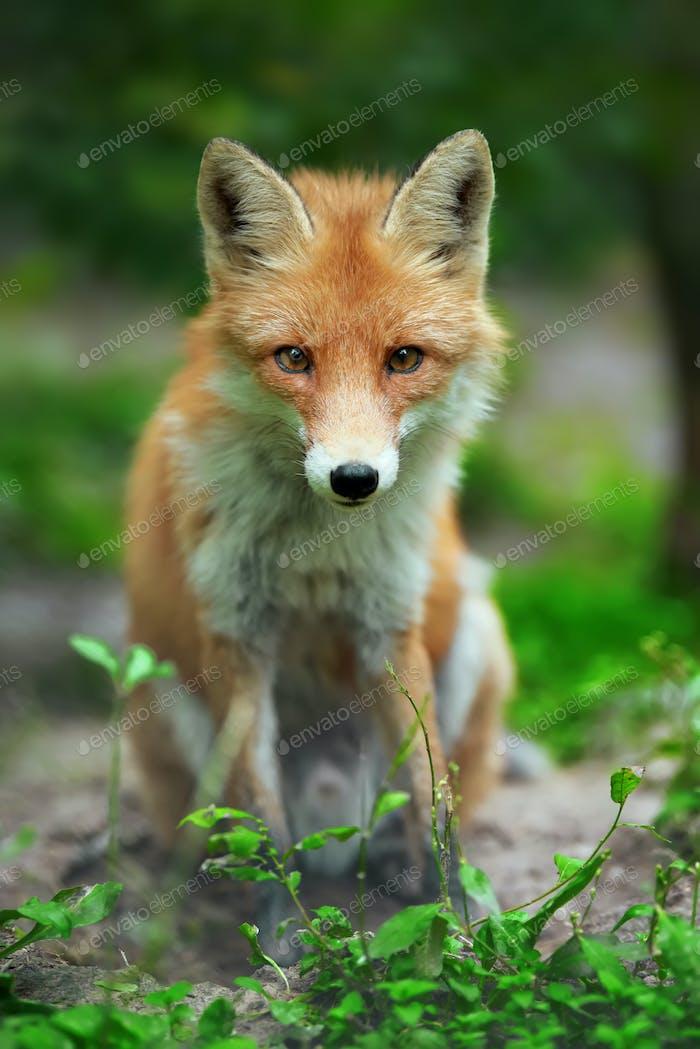 Portrait of a red fox (Vulpes vulpes)