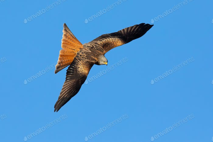 Proud red kite with spread wing in the air from above
