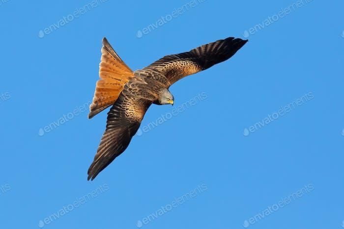 Stolzer roter Drachen mit gespreiztem Flügel in der Luft von oben