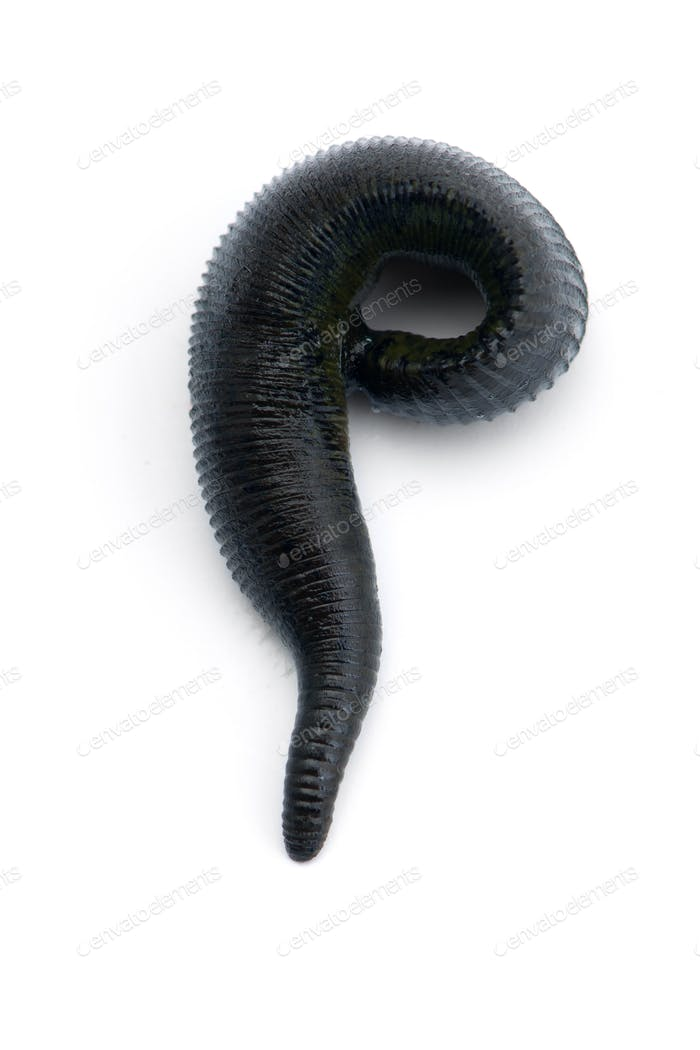 Black river is a huge leech isolated on white background