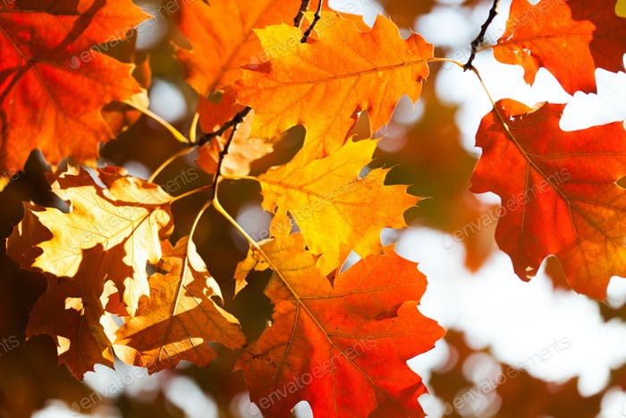 The warm rays of the autumn sun make their way through the multicolored lush foliage of red oak.
