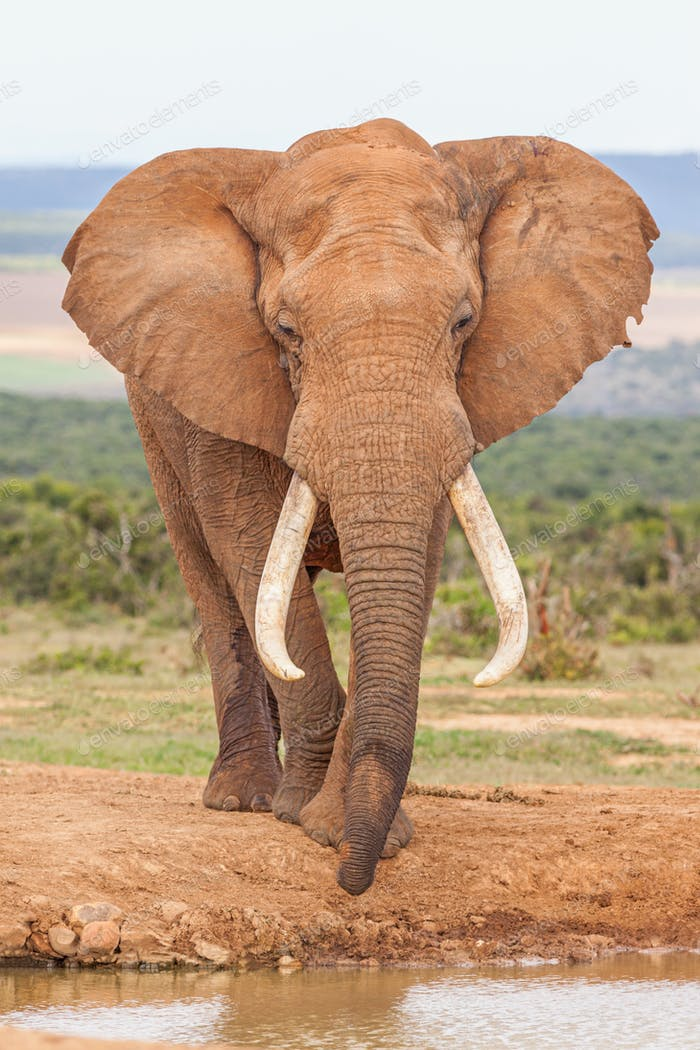 Magnificent Bull Elephant in Addo
