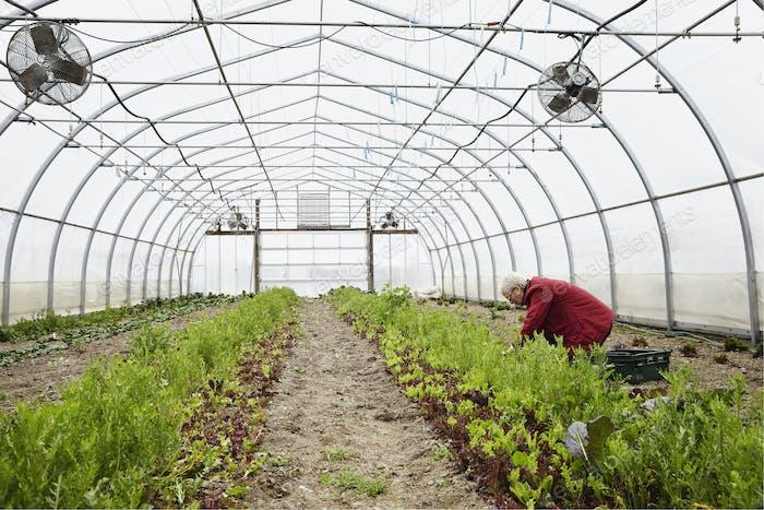 Ein großer kommerziell Gartenbau-Polytunnel mit Ventilatoren in der Decke, und Pflanzen wachsen in der