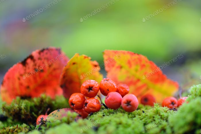 Rowan berries with autumn leaves on green moss. Autumn backgroun