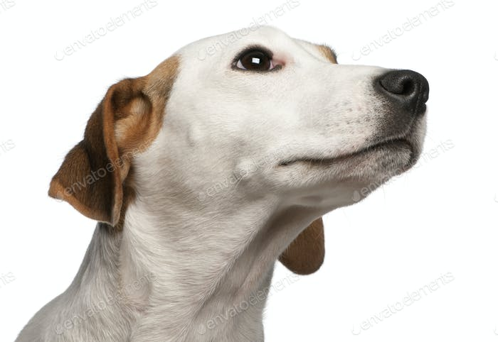 Close-up of Jack Russell Terrier, 16 months old, in front of white background
