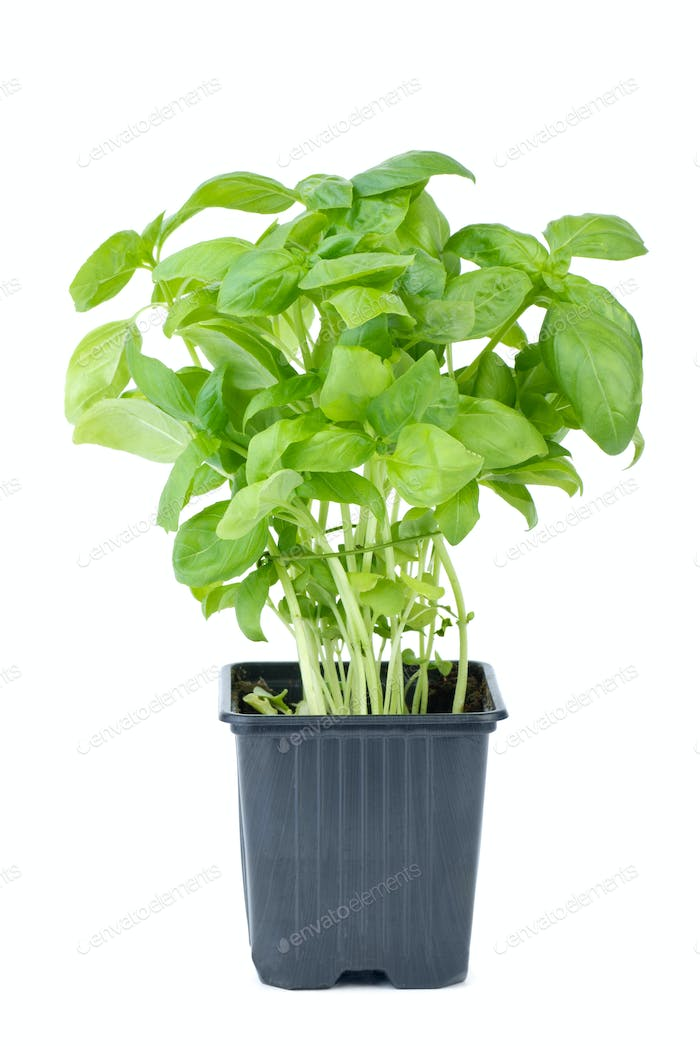 Green basil growing in the flowerpot