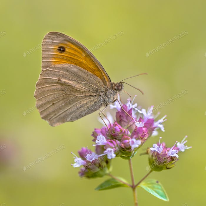 Dusky Meadow Brown butterfly