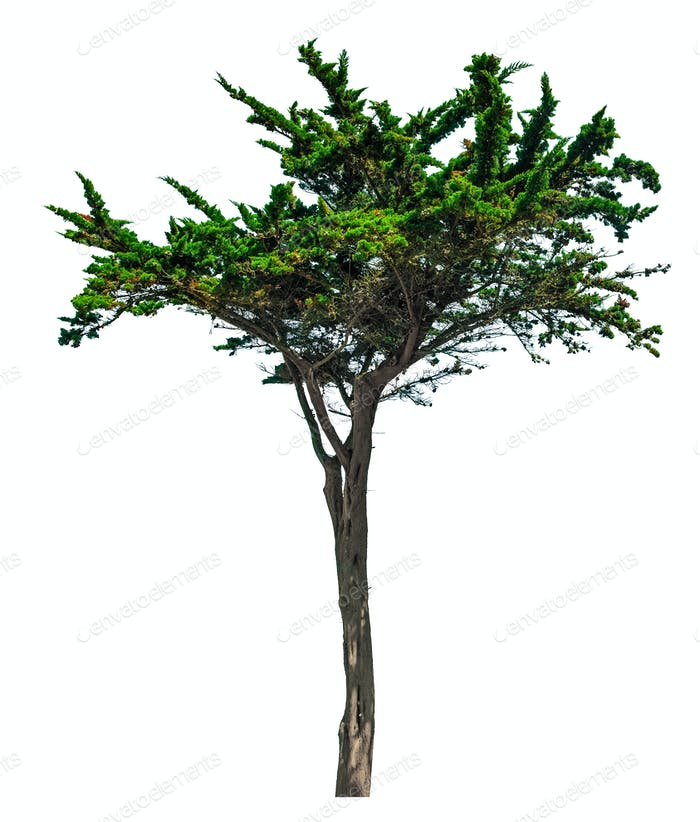 Pine tree isolated on white background. Brittany, France