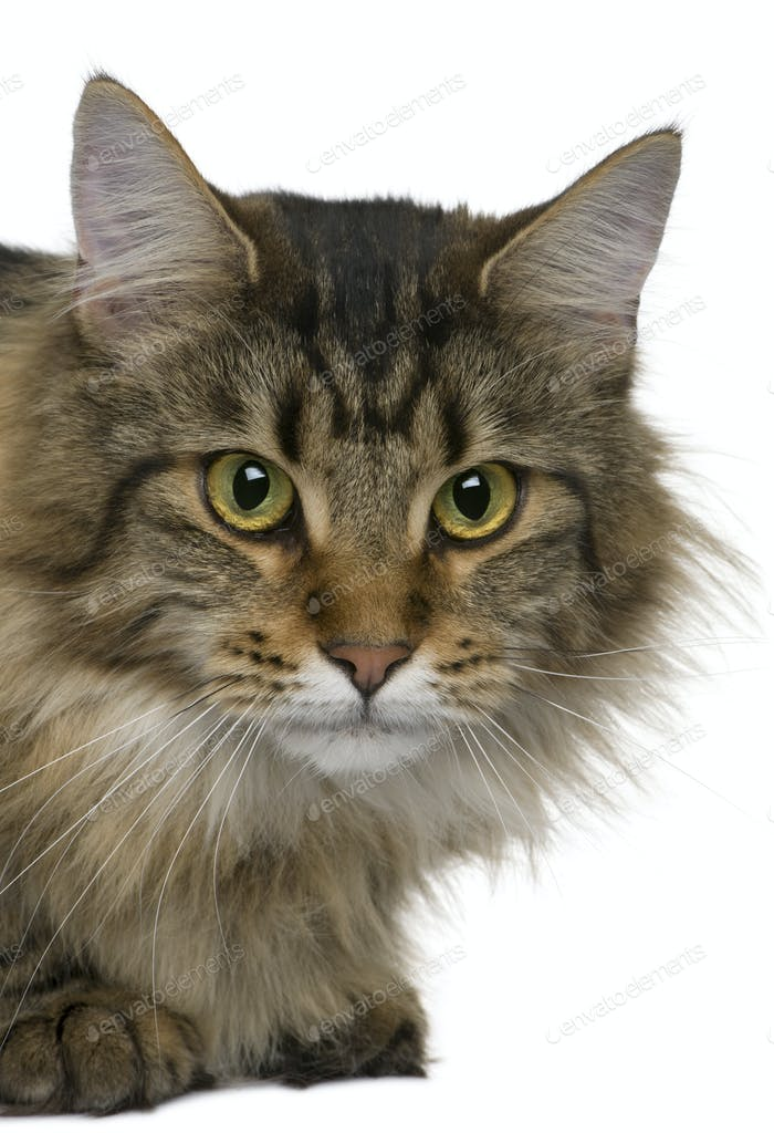 Maine coon, 1 year old,  in front of white background