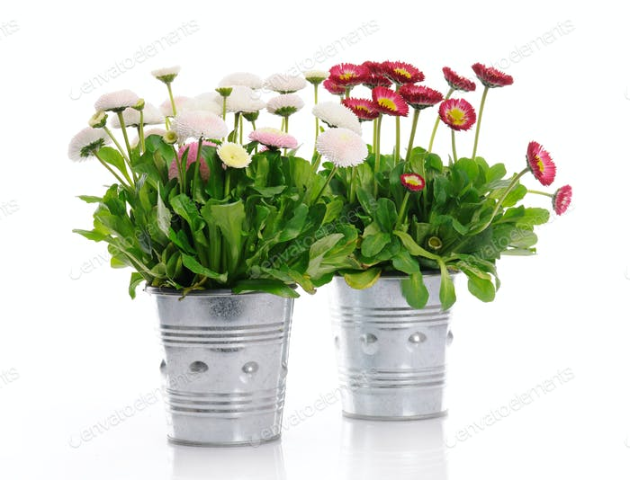 pots with daisies
