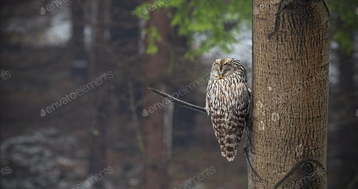 Ural owl, Strix uralensis, sleeping in a forest hidden by a tree