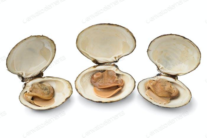Drei frisch gekochte Spisula Solida oder Surf Muschel