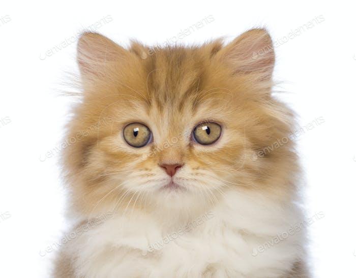Close-up of a British Longhair kitten, 2 months