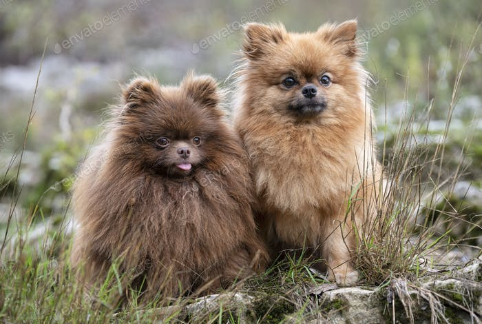 pomeranians in nature