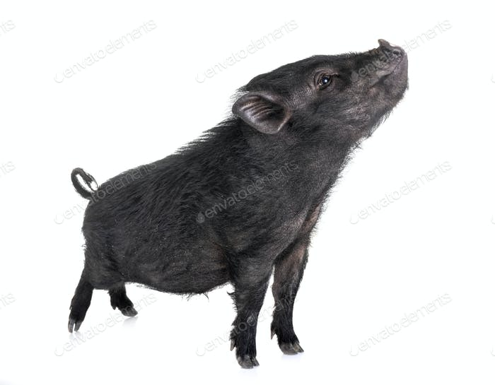 vietnamese pig in studio