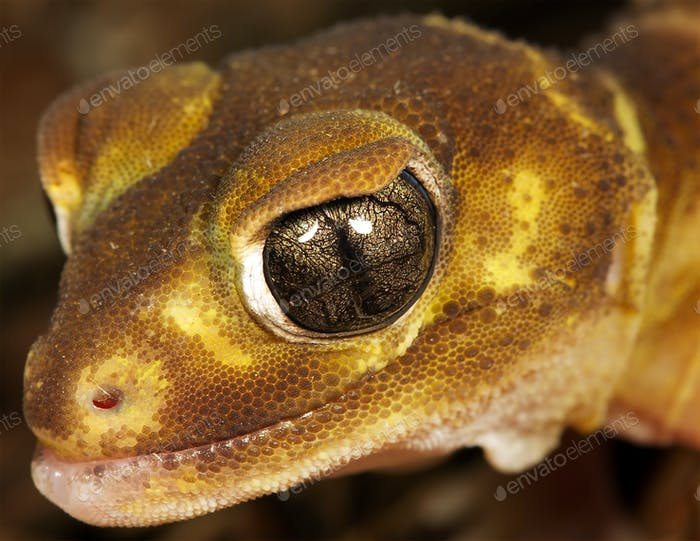 brown gecko