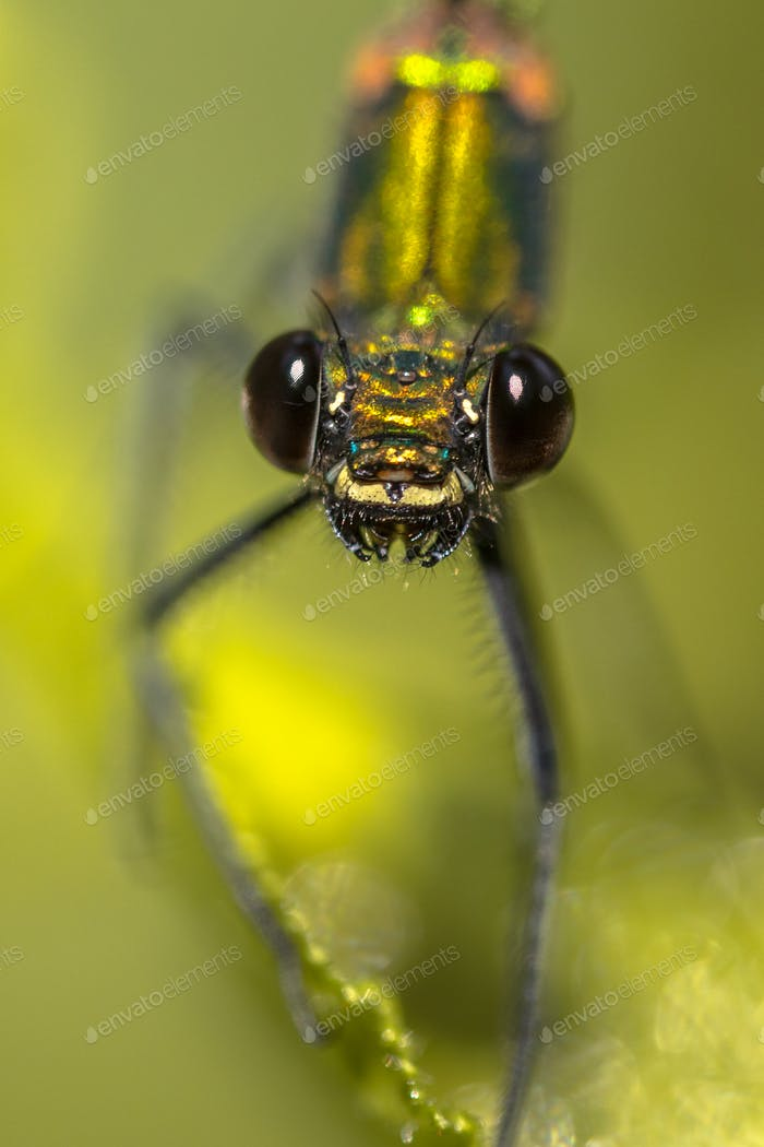 Copper demoiselle female dragonfly frontal portrait