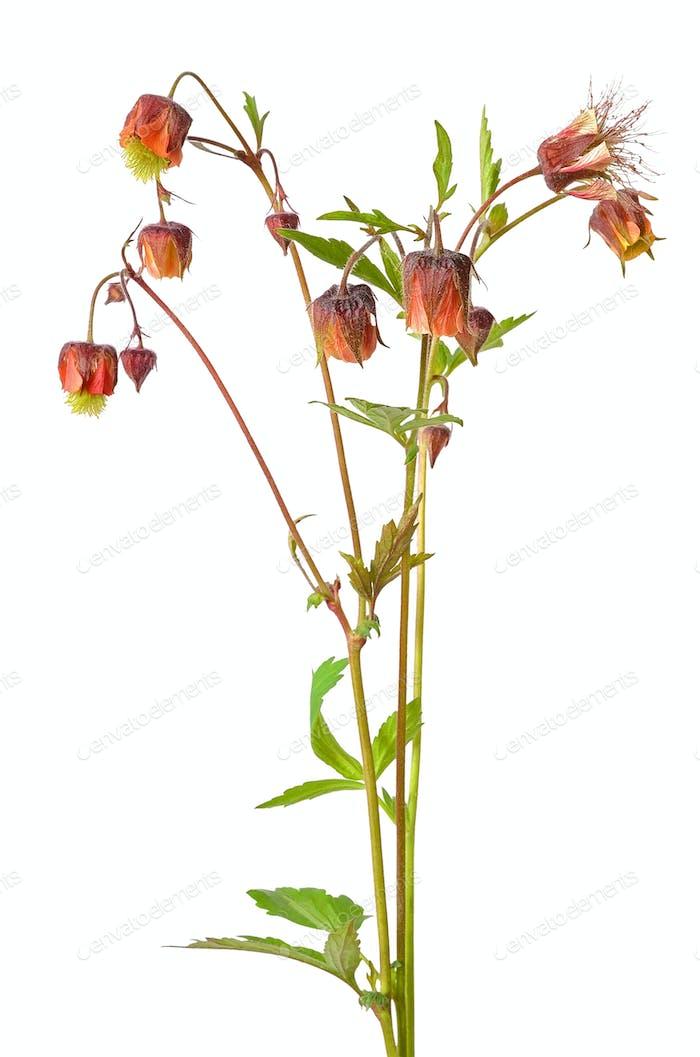 Geum rivale flower