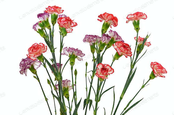 Red and purple carnation flowers