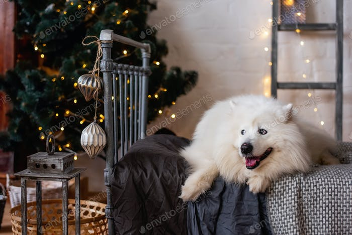 White, fluffy dog Samoyed lies on a gray wrought-iron bed by the New Year tree. Christmas holidays