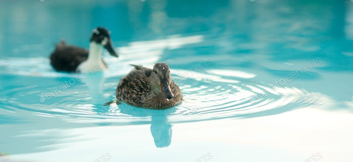 Pair of Mating Ducks Hotel Pool Wild Animal Bird